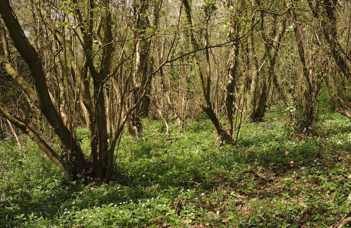 Coppice at Whitestone woods