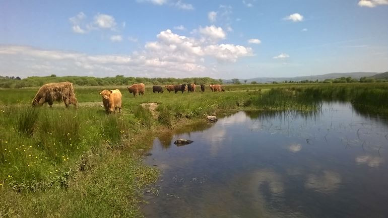Cattle grazing by Cors Caron bog