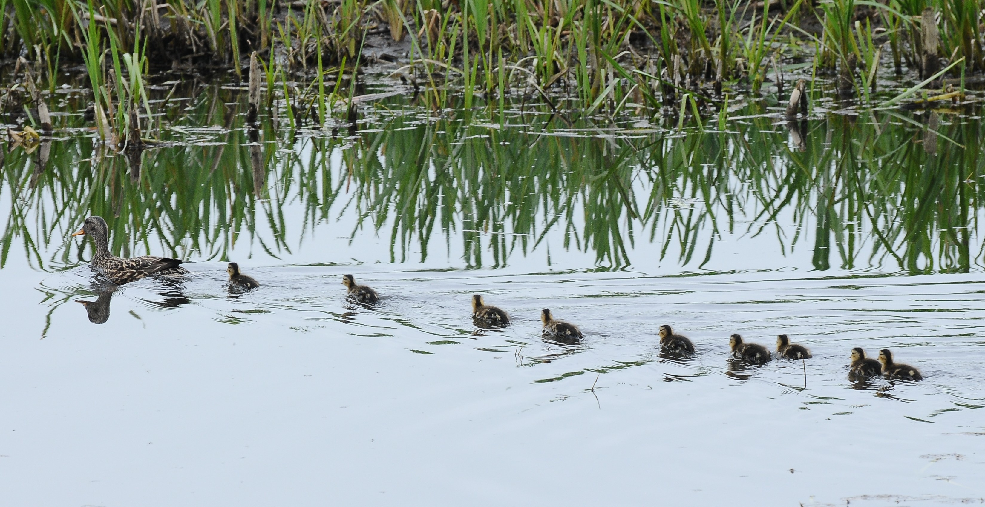 nine ducklings swimming behind a duck with a green reed bed in the distance
